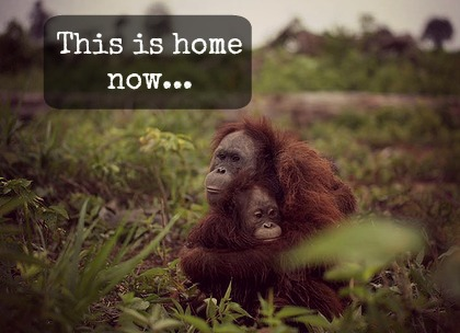 Where Are the World's Orangutans?