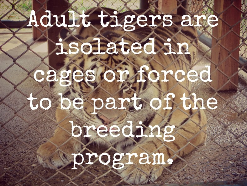 EXPOSED: Tiger Kingdom