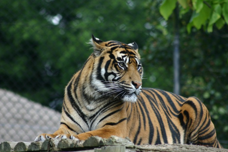 Tiger Farming: Why it's a Threat to Wild Tigers