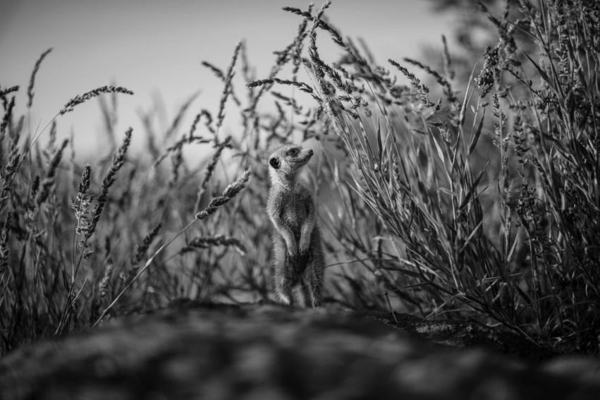 Meerkat Amidst Desert Grass