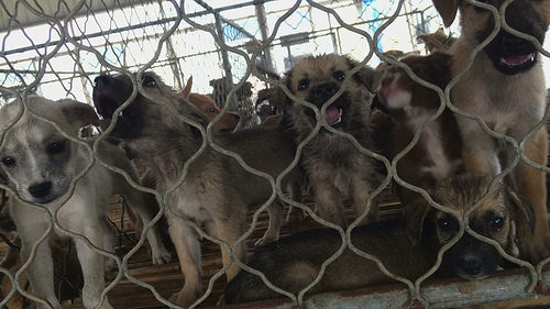 China's Meat Dog Farms are a Myth – New Report Finds Most are Poisoned and Stolen From Rural Homes