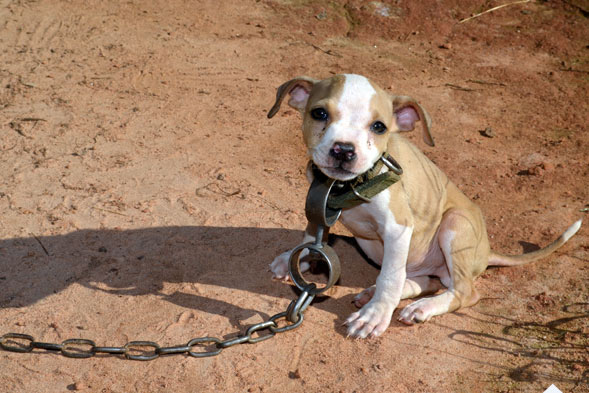 5 Dogs Rescued From Dog Fighting Rings