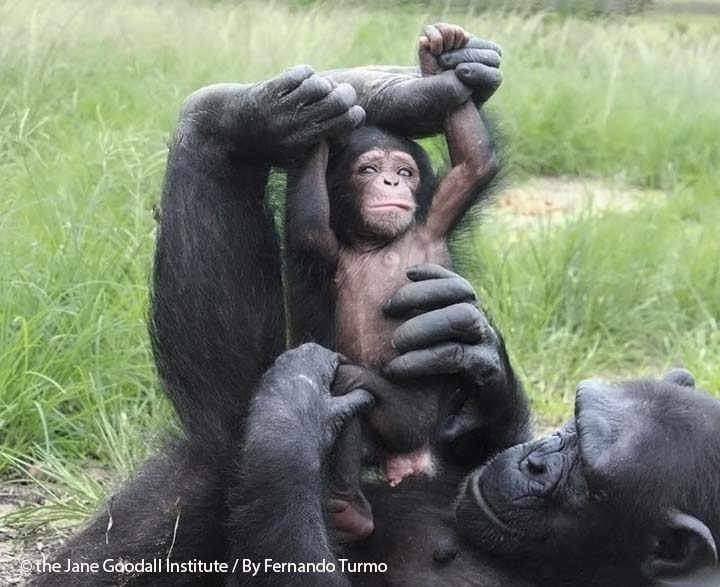 Mother chimpanzee with her infant at the Tchimpounga Sanctuary, Republic of Congo.