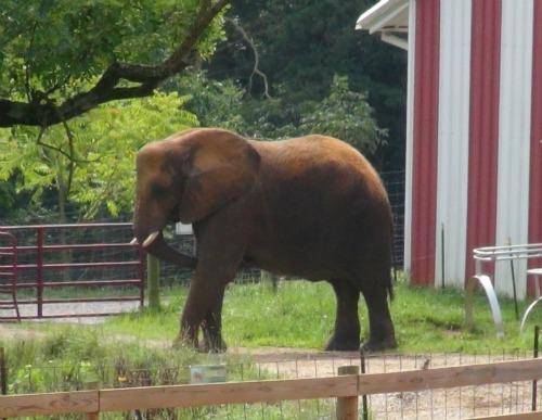 Elephant_outside_barn_CALE_cropped