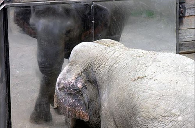 Happy, The Loneliest Elephant Who Has Lived in Captivity for 35 YearsThe Bronx Zoo Ended Their Elephant Program 10 Years Ago – But Happy the Solitary Elephant Remains Imprisoned