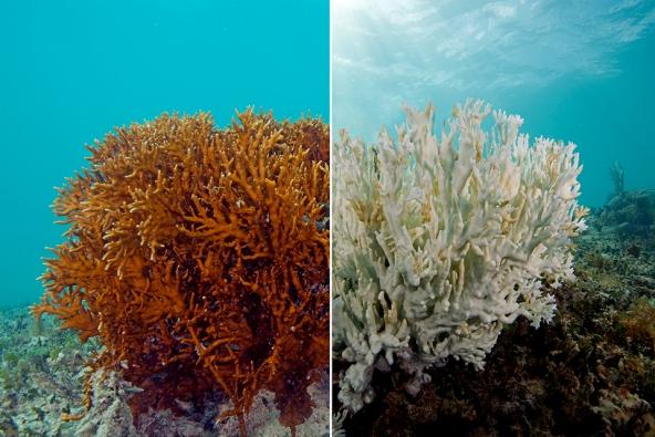 Coral-bleaching-7web