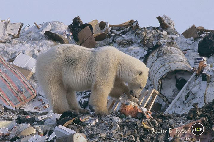 Manitoba Polar Bear on Trash Heap