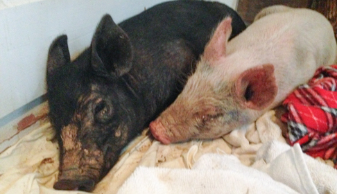 Meet the Adorable Pigs that Made Jon and Tracey Stewart Fall in Love on the Spot!