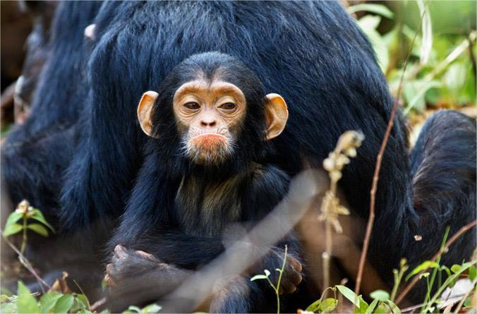pouting chimp