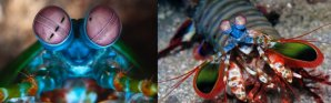 Peacock-Mantis-Shrimp-