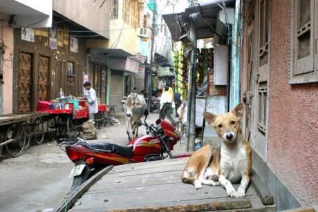 A Real Look at Rescuing and Returning Street Dogs in India