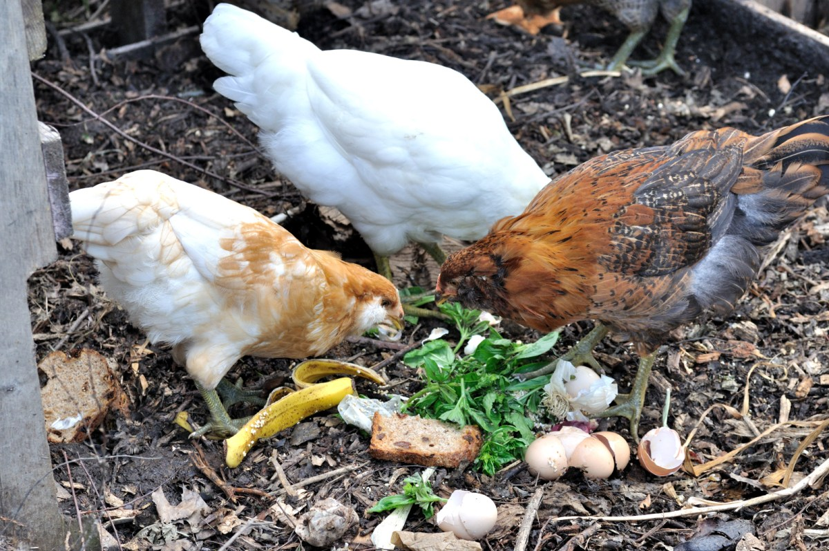 5 major problems with backyard eggs one green planet