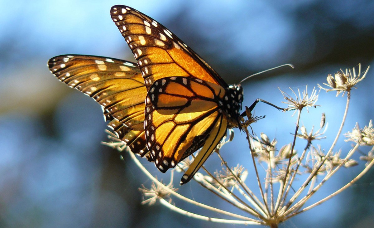 8 ways you can help save monarch butterflies one green planet