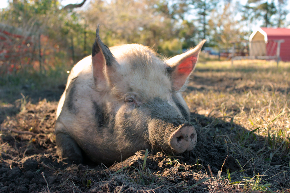 How Esther the Wonder Pig Helped Save the Lives of 10 Pigs from North Carolina