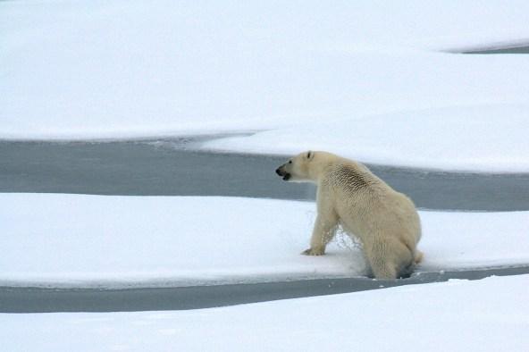 polar-bear-1574995_1280