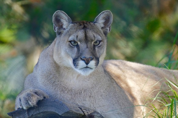 mountain-lion-1577644_1920