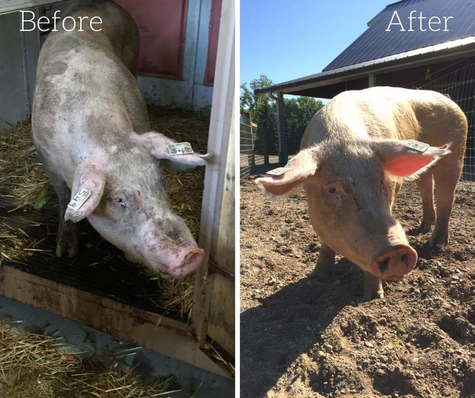 How This Minnesota Sanctuary Is Working To Rescue Abused Farm Animals