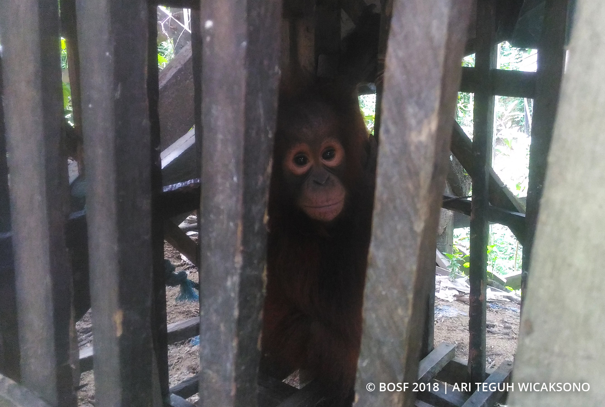 Borneo's orangutan population suffering