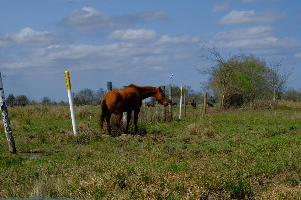 Wild Horse Trapped in Wire Left By Bayou Bridge Pipeline Company ...