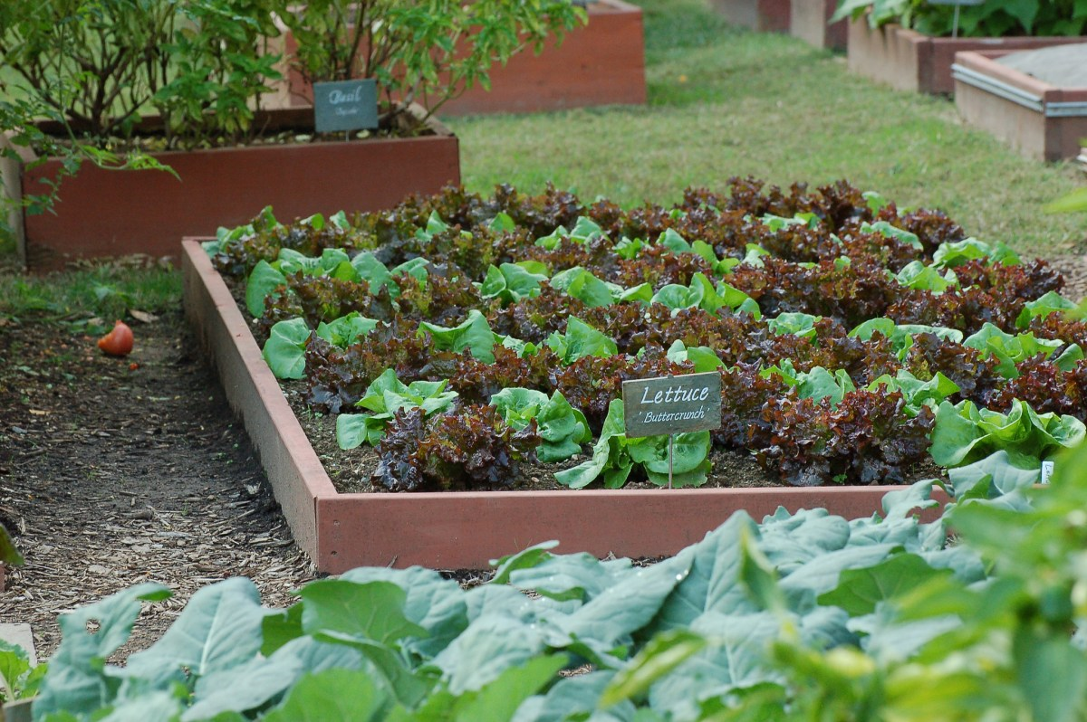 How is Michelle Obama\'s White House Vegetable Garden Holding Up ...