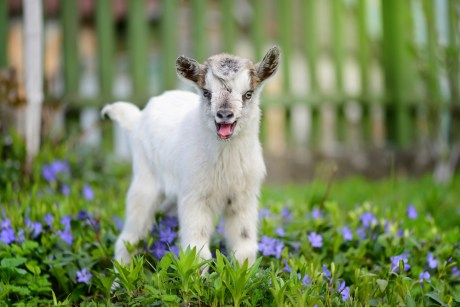 10 Reasons Why Goats Should Be on Your Speed Dial When You're Having a Bad Day