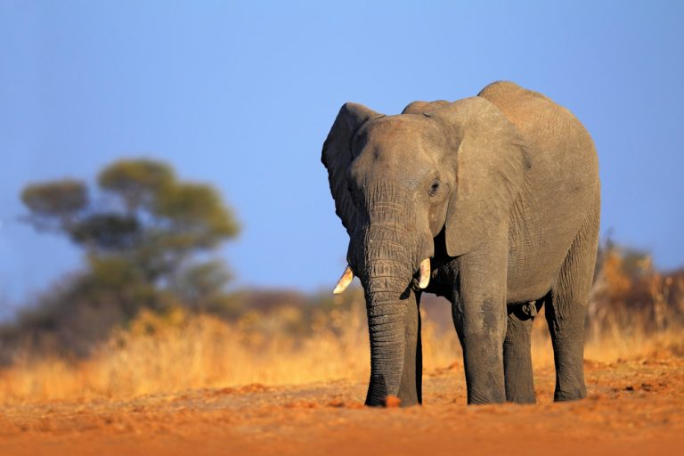 Despite Criticism, Canada Moves Forward with Auction for First-Ever Elephant Hunt for Ivory in Botswana