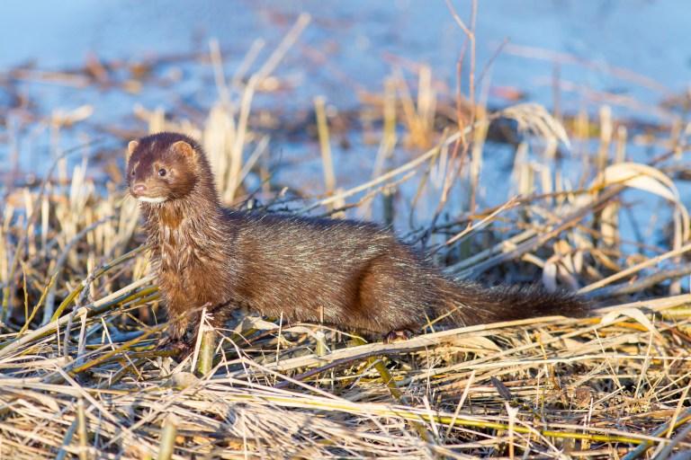 Petition: Great News! Dutch Parliament Votes to Close Mink Farms