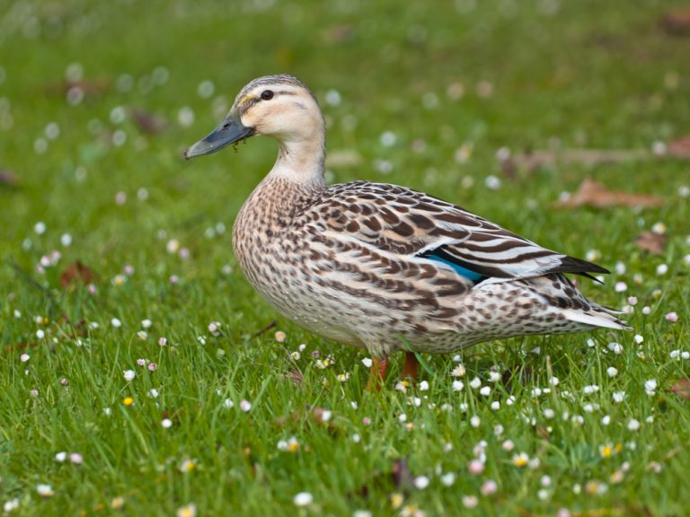 Ban Cruel Duck Shooting in New Zealand and Protect Native Ducks