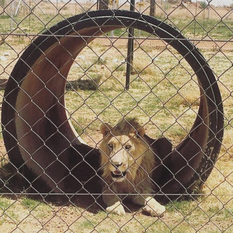 Petition: 10 Lions Bred for Hunting Rescued From Captivity