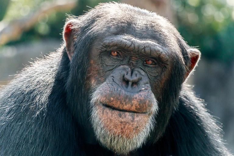 Petition: Send Traumatized Lab Chimps to a Sanctuary