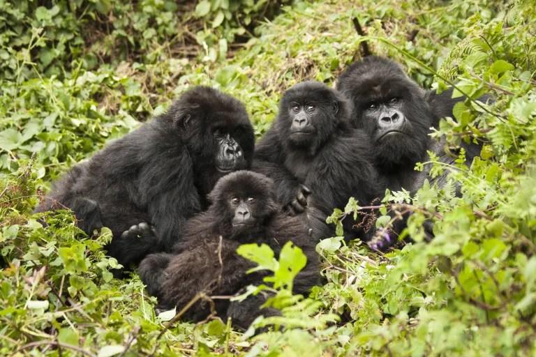 Coronavirus is a Threat to Endangered Primates