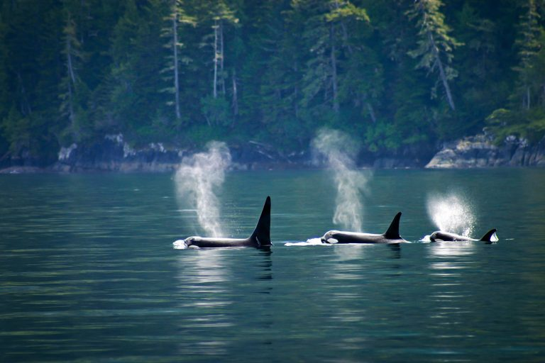Petition: Pacific Killer Whales are Dying–Here's Why