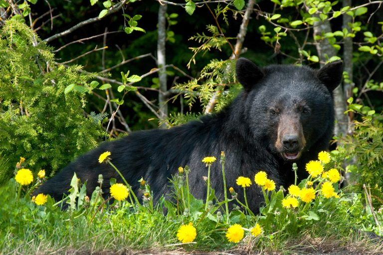 Petition: California Introduces Bill to Ban Black Bear Hunting