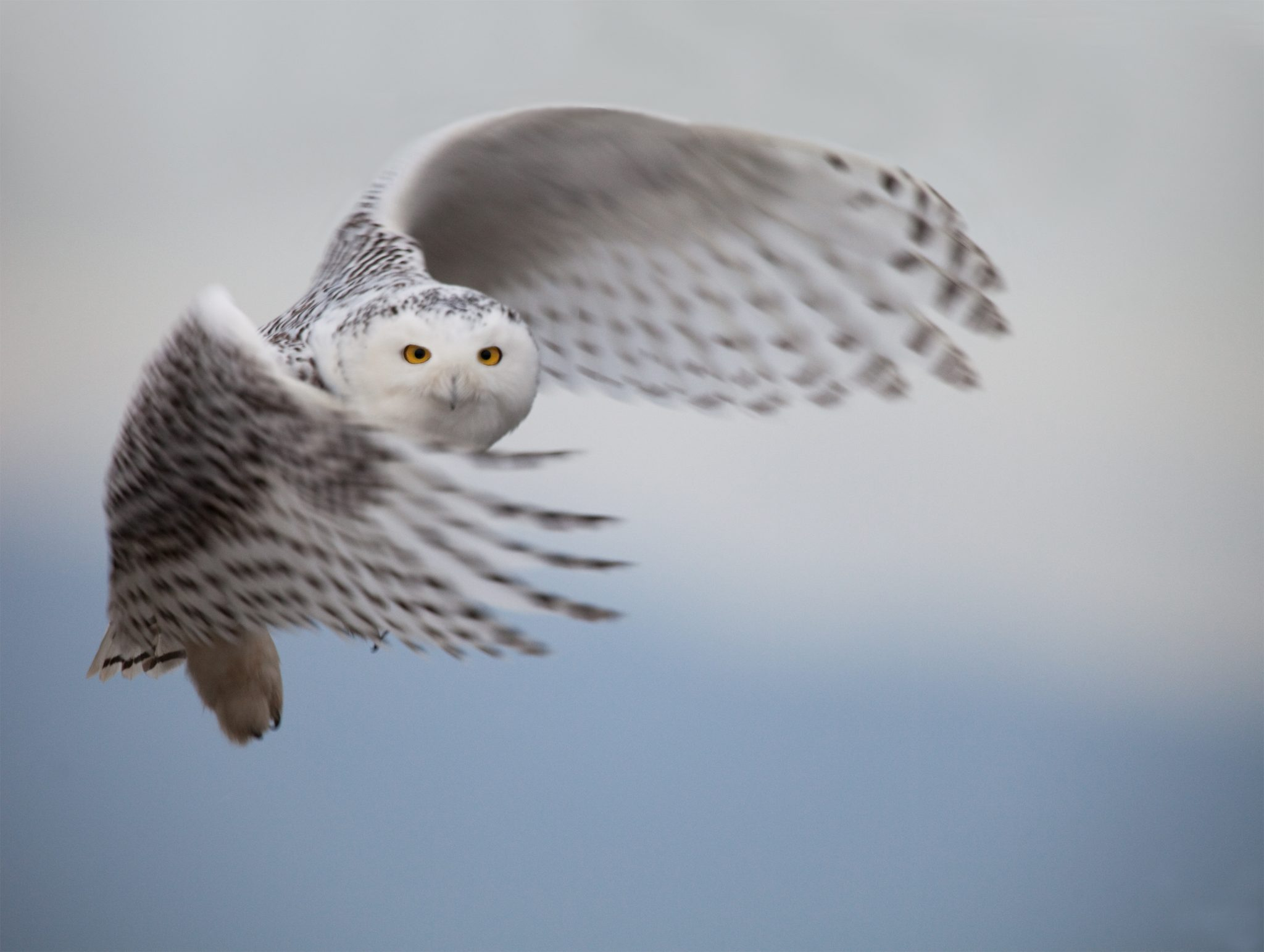 White Snowy Owl Spotted in Rare Sighting in Central Park!