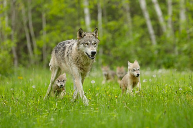 U.S. Fish and Wildlife Refuses Executive Order to Review Delisting of Gray Wolves