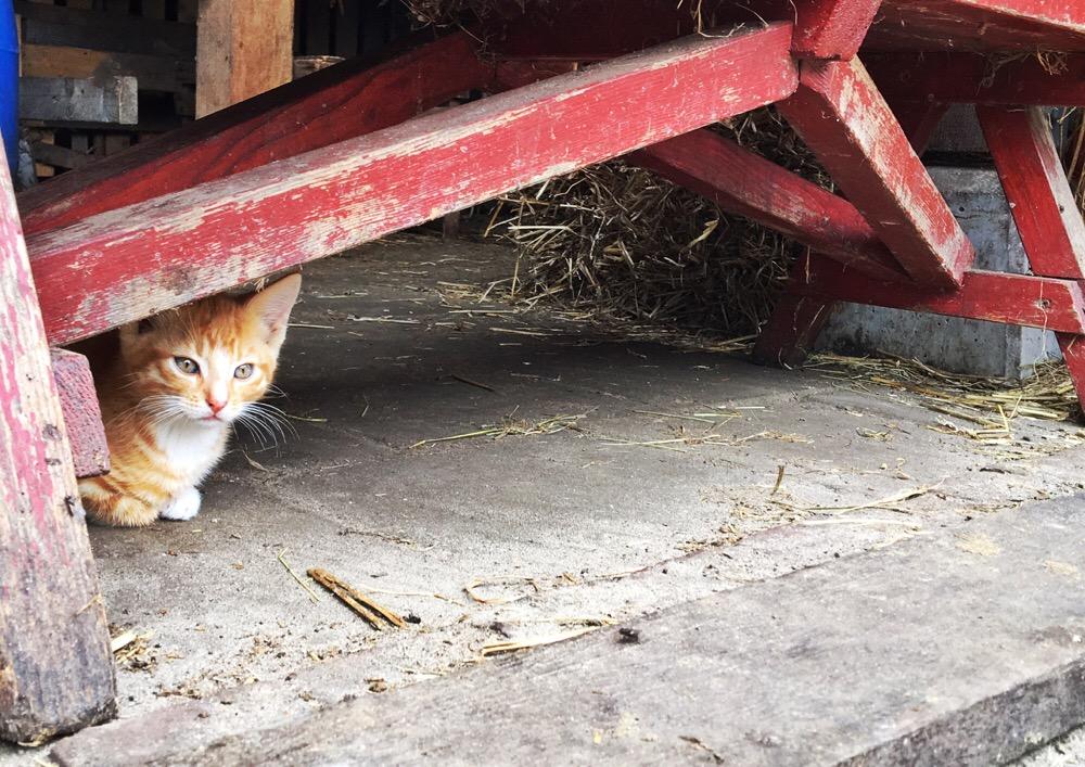 kitten in Friesland