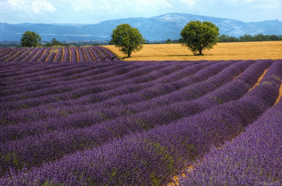 lavendelvelden Frankrijk