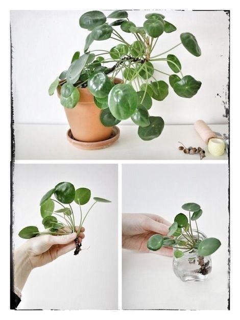stekken van de pannenkoekenplant
