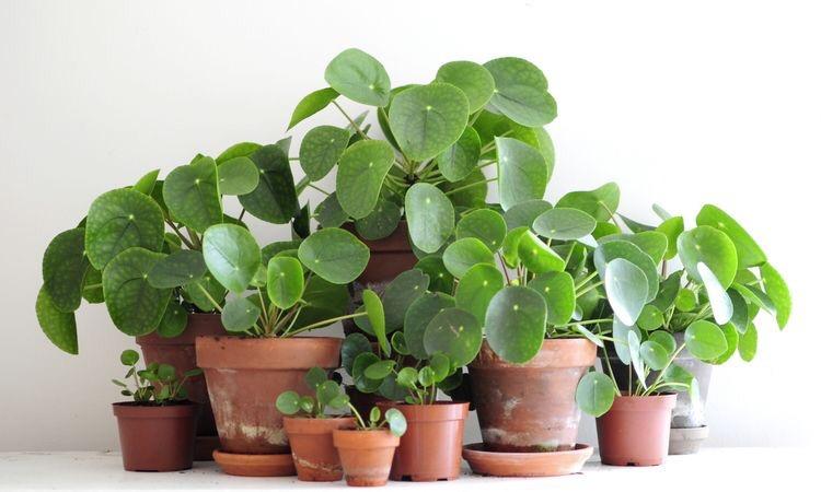 Chinese muntenplant
