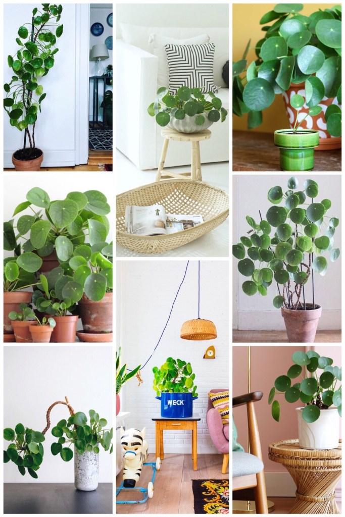 10x Pannenkoekenplant inspiratie