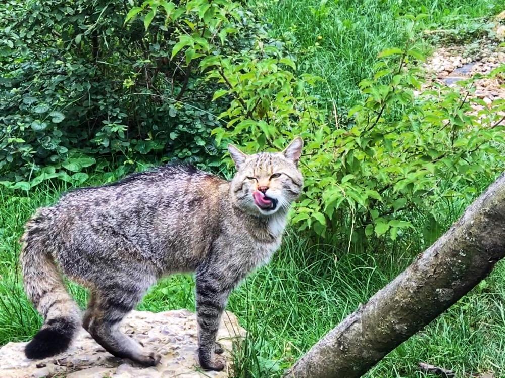 wilde katten in Hainich