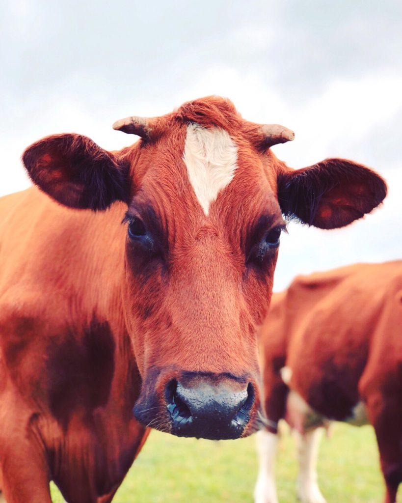 koeien in Twente