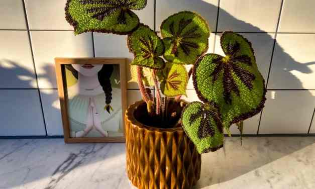 Verzorgingstips voor de Begonia Masoniana