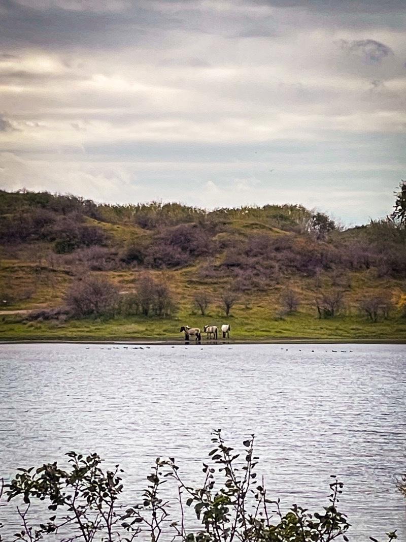 Middenduin wilde paarden