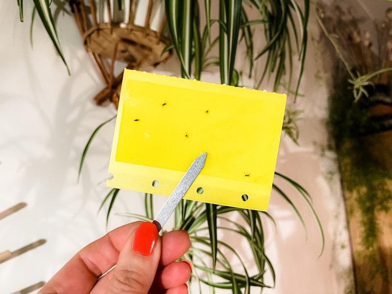 Rouwvliegjes bestrijden? 10 tips om je planten vrij te houden