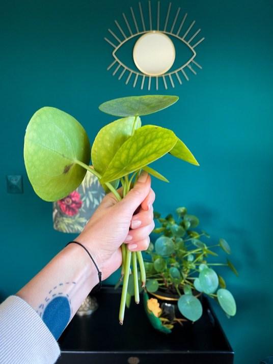 verzorging pannenkoekplant