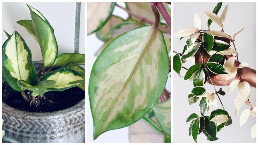 Inspiratie en verzorgingstips voor de Hoya Carnosa Tricolor (wasbloem)