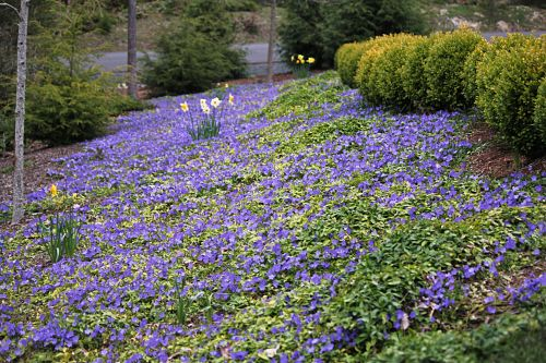 vinca minor trailing periwinkle