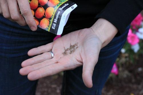ed hume seeds parisian carrots