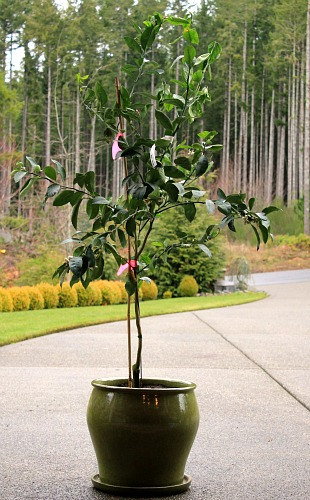 how to plant a meyer lemon tree in a container one hundred dollars a month. Black Bedroom Furniture Sets. Home Design Ideas